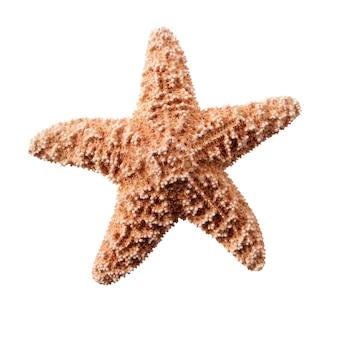 Starstar pequeña estrella de mar aislado en fondo blanco