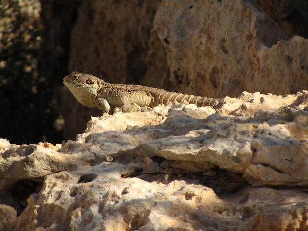 Stellagama arrastrándose sobre las rocas bajo la luz del sol en malta