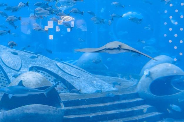 Stingray nadando bajo el agua. la raya también se llama gatos marinos y se encuentran en aguas templadas y tropicales. atlantis, sanya, isla de hainan, china.