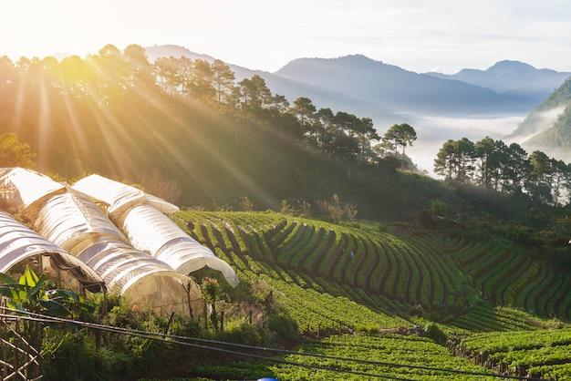 Strawberry farm array layer en la colina en la montaña doi angkhang, chiangmai, tailandia