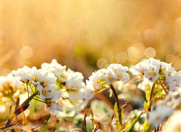 Suave centrado en flores blancas florecen en abstracto borrosa en un vasto campo de flores.