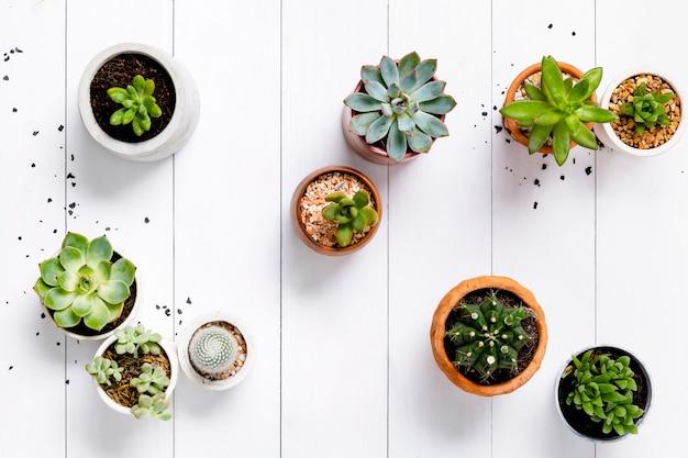 Suculentas y cactus en madera fondo blanco.