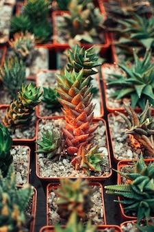 Suculentas, echeveria kalanchoe plantas suculentas de la casa.