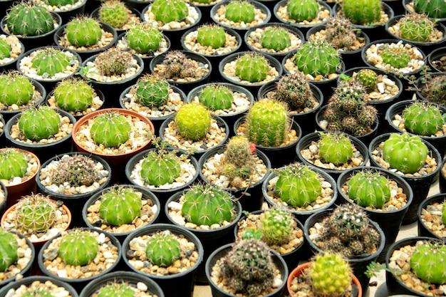 Suculentas mixtas o cactus. pequeño cactus en macetas para ser vendido.