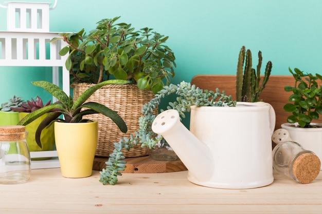 Suculentas, plantas de casa en macetas.