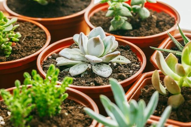 Suculentas plantas con flores en casa.