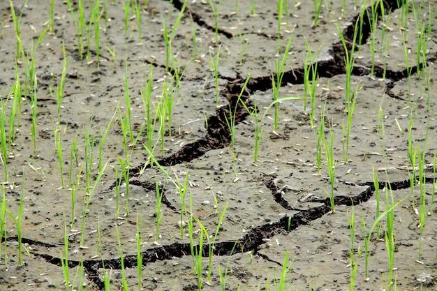 Suelo agrietado en la granja de arroz
