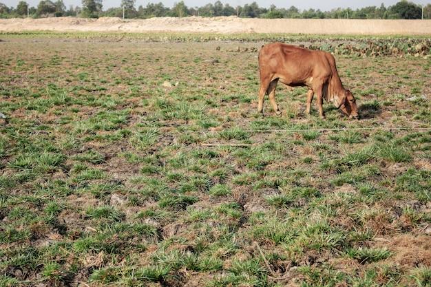 Suelo árido y vaca con luz solar.