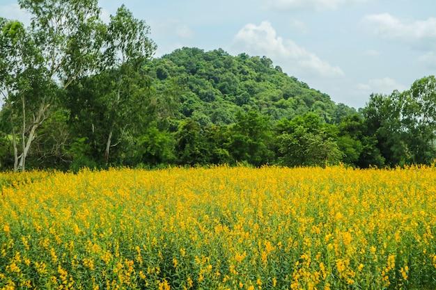 Sunhemp en el valle, hermosa flor amarilla en campo y árbol verde