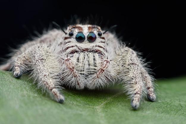 Súper macro hembra hyllus diardi o araña saltarina en hoja verde