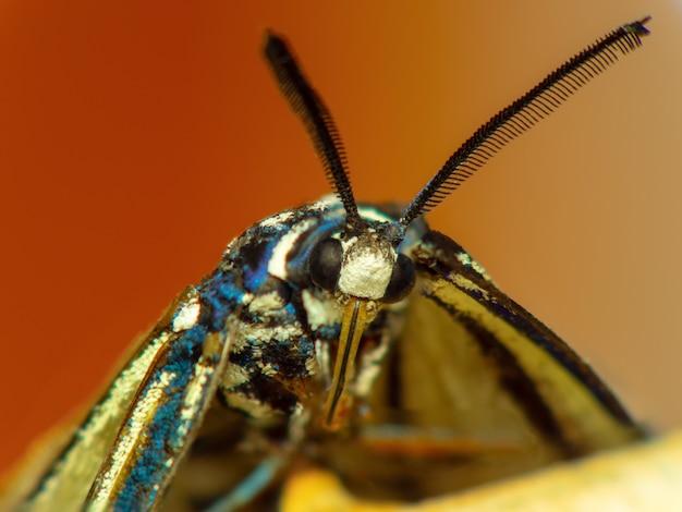 Super macro, pila macro disparo mariposa diurna.