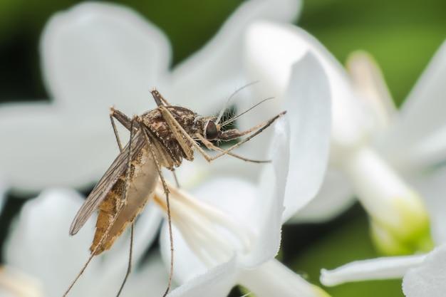 Super mosquito macho macro en flor blanca
