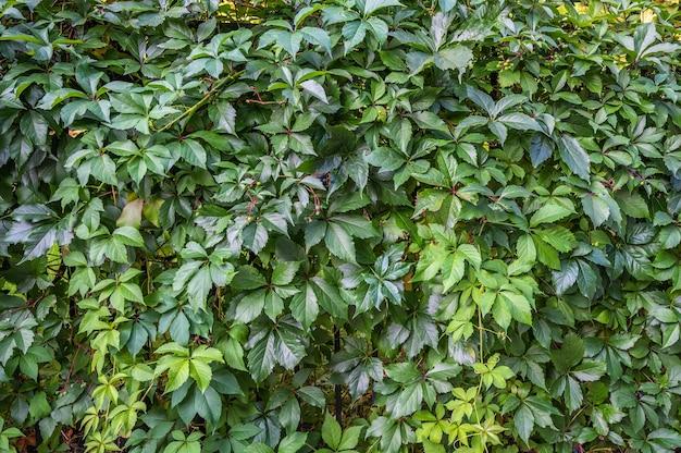 Superficie de gruesas hojas verdes en la valla