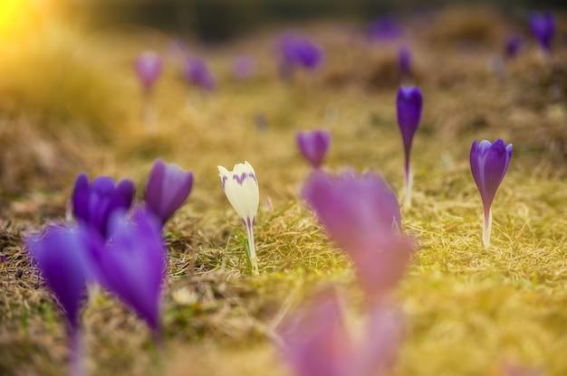 Superficie de la naturaleza con flores silvestres de azafrán en la hierba; enfoque selectivo. banner de primavera para su diseño
