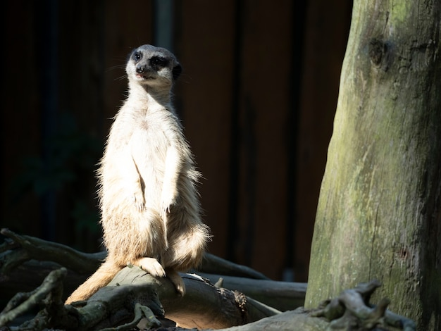 Suricate suricata suricatta está observando los alrededores de cerca