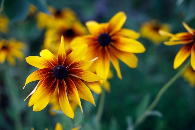 Susan de ojos negros florece en el jardín