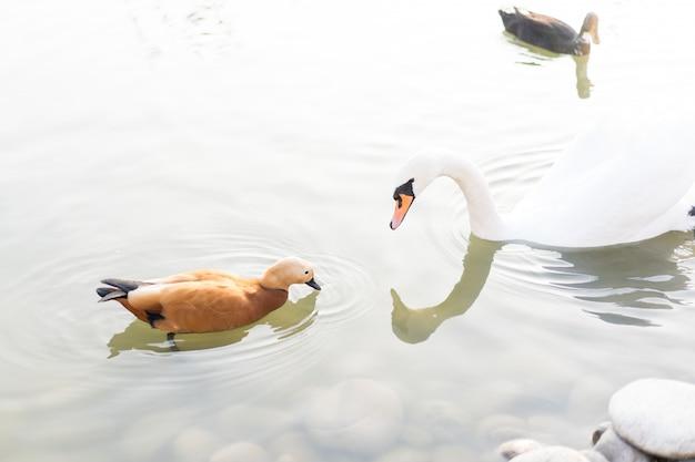 Swan mira a un pato nadando en un estanque