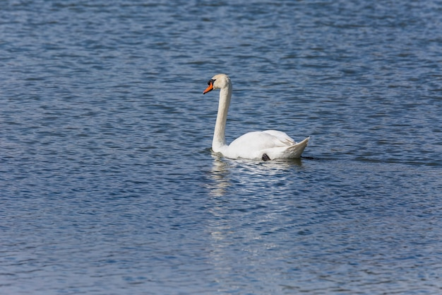 Swan en primavera en la reserva natural de aiguamolls de l'emporda, españa.