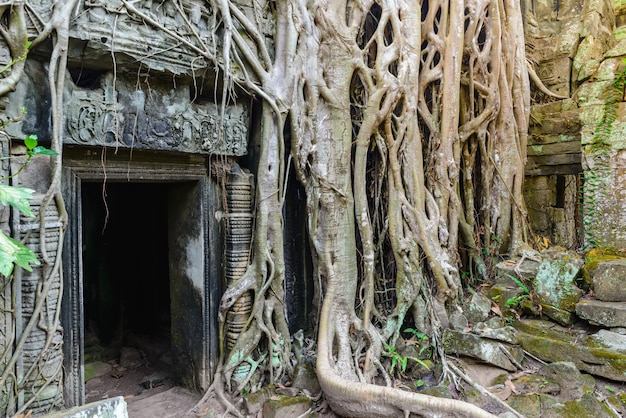 Ta prohm raíces de los árboles de la selva famosa que abarca los templos de angkor