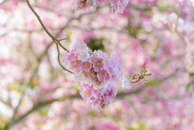 Tabebuia rosea es un árbol neotropical de flor rosa y cielo azul.