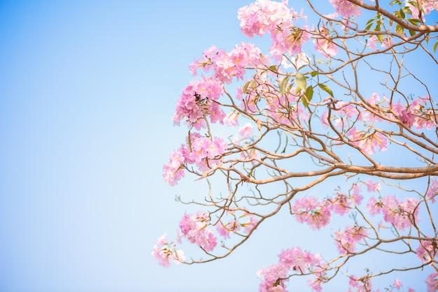Tabebuia rosea es un árbol neotropical de la flor rosada y cielo azul