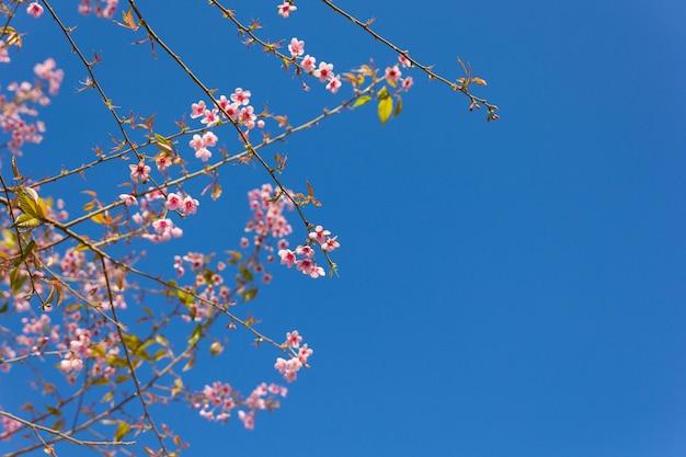 Tailandia sakura flor rosa en la provincia de phetchaboon, tailandia