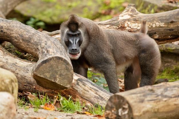 Taladro mono mandrillus leucophaeus descansando en el área de hábitat natural