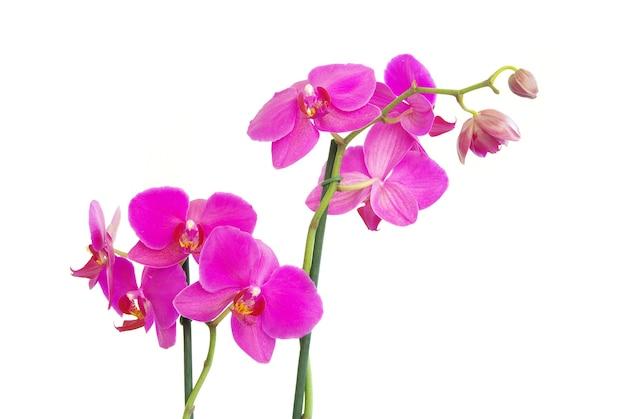 Tallo rosa de orquídeas aislado en blanco