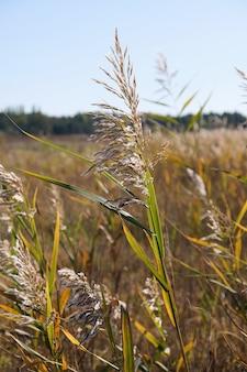 Tallos secos de cañas en el estanque se mecen con el viento