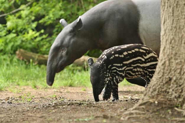 Tapir malayo con bebé en el hábitat natural