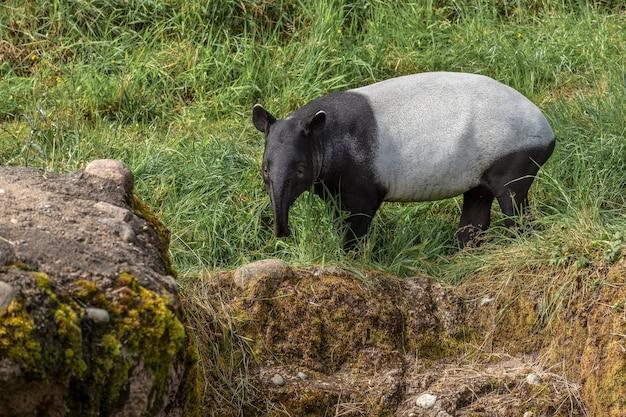 Tapir mirando hacia adelante