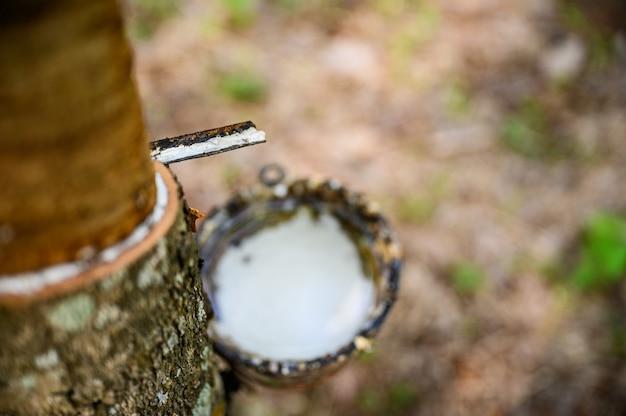 Tapping latex rubber tree, rubber latex extraído del árbol de caucho, cosecha en tailandia.