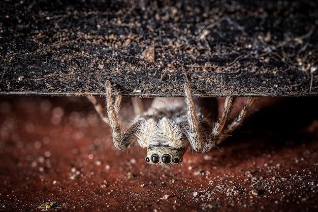 Una tarántula peluda gris y aterradora con cuatro ojos arrastrándose