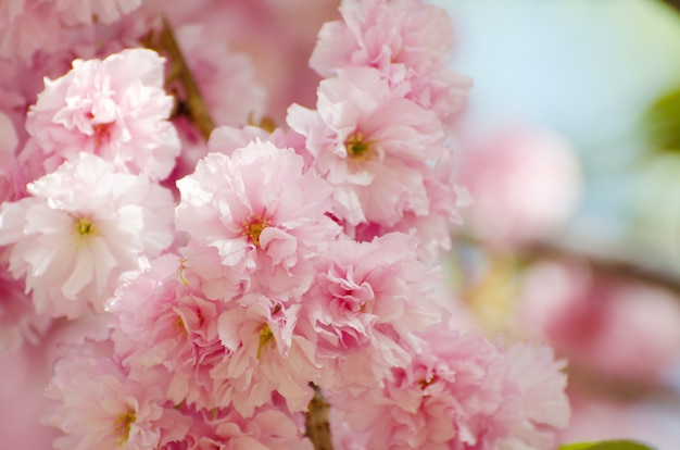 La tarjeta romántica de la boda o de regalo con sakura florece en una primavera.