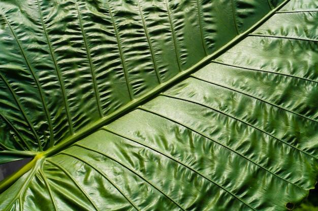 El taro es una planta tuberosa popular en el sudeste asiático y otras regiones tropicales.