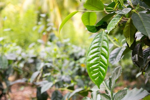 Té de ceilán deja la vista de cerca, plantaciones de sri lanka. campos de cosecha
