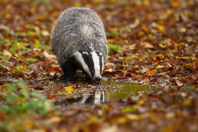 Tejón europeo bebiendo de splash en otoño naturaleza