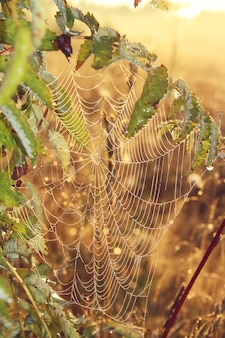 La tela de araña con gotas de rocío en las ramas de ceniza de montaña en un fondo de amanecer con bokeh