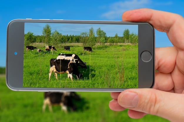 Teléfono móvil tomando fotos de vacas negras pastan en campo verde en día de verano