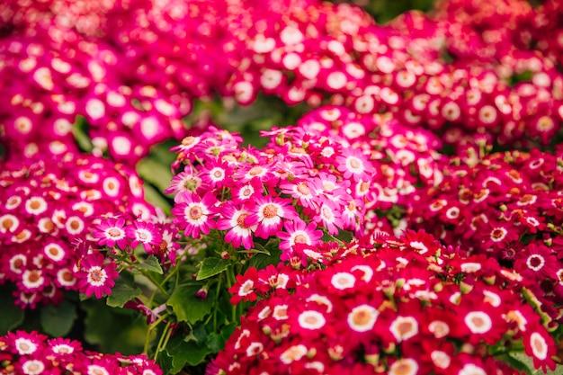 Telón de fondo de hermosas flores de cineraria rosa brillante arbusto