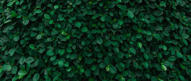Telón de fondo de la pared natural de hojas verdes.