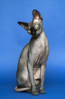 Temperamento canadian sphynx raza de gato conocido por su falta de pelaje retrato de cuerpo entero