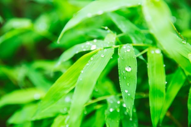Temporada de lluvias. gotas de lluvia en la hoja verde de la planta de bambú hermosa naturaleza de fondo