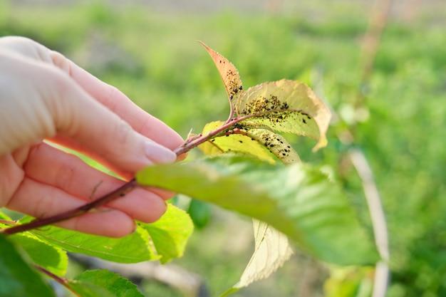Temporada de primavera, cerezo, primeros planos de insectos plagas de pulgones