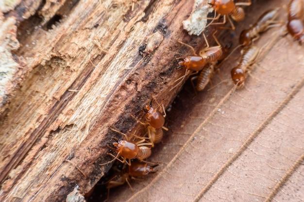 Termitas comiendo madera podrida