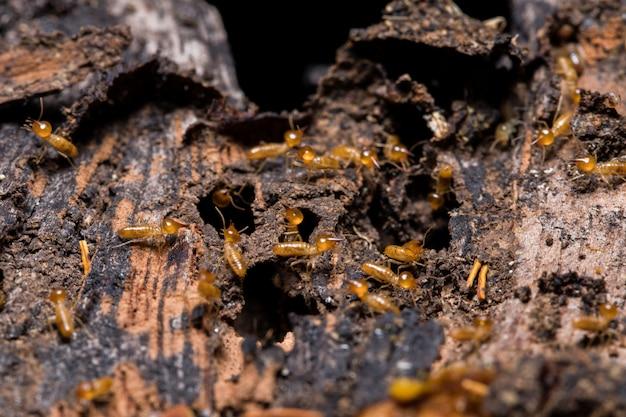 Termitas comiendo madera