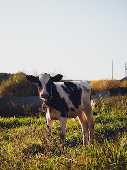 Ternero pastando en un prado verde en el pueblo en otoño, primer plano.