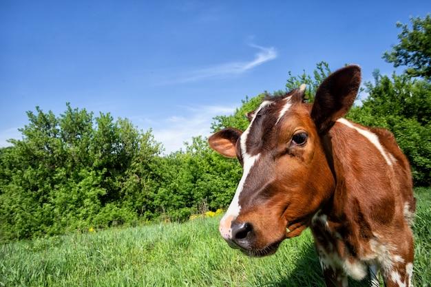 Ternero de vaca en los árboles