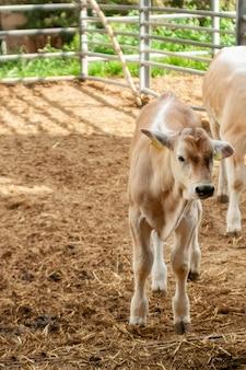 Ternero vaca en el paddock