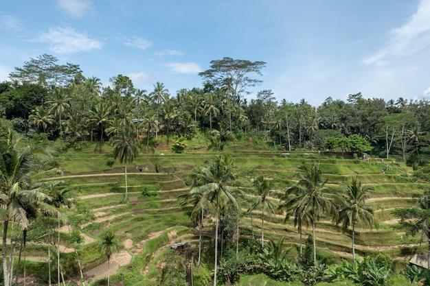 Terraza de arroz en bali